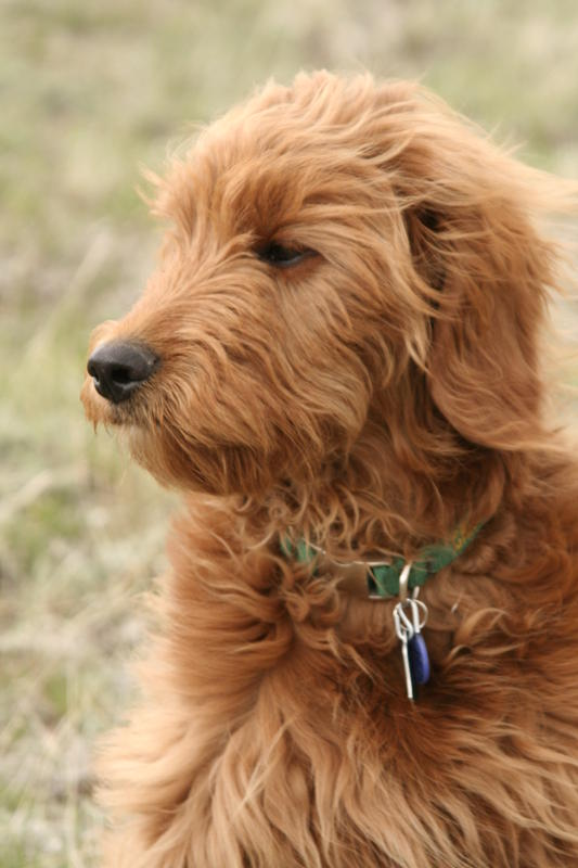 Goldendoodle Adults 58