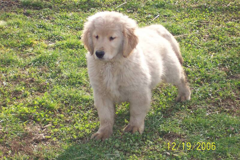 Goldendoodle puppies, goldendoodle, goldendoodles,goldendoodle breeders, Ohio goldendoodle breeders
