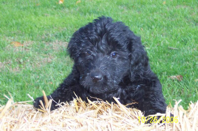 red goldendoodle puppies for sale. Goldendoodle puppies